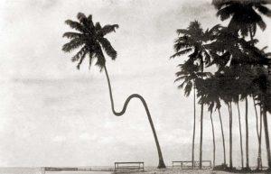 Coqueiro Gogó da Ema