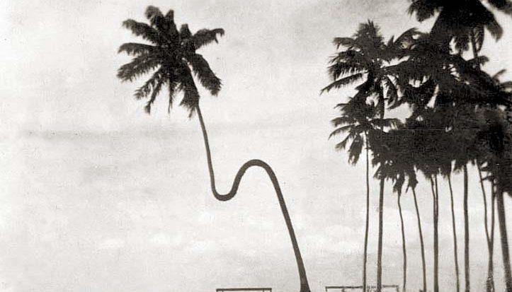 Coqueiro Gogó da Ema. Fonte: historiadealagoas
